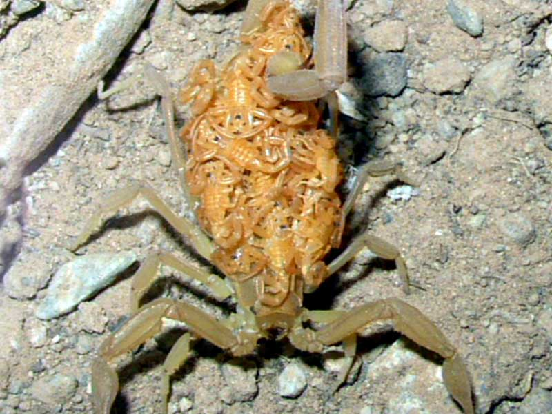 Bark Scorpion Young