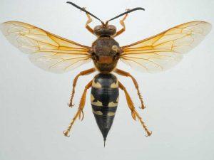 Cicada Killer Wasp