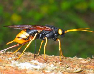 Horntail Wasps