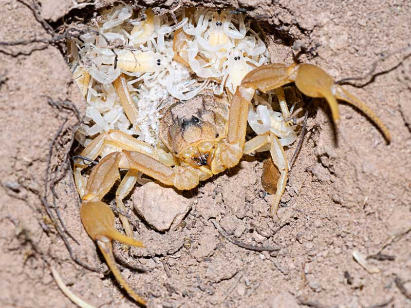 Bark Scorpion Young