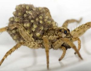 Wolf SPider Young