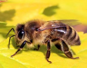 Afrricanized Honey Bees