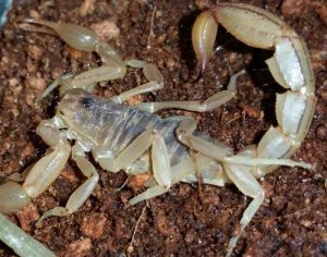 Stripped Tail Scorpion