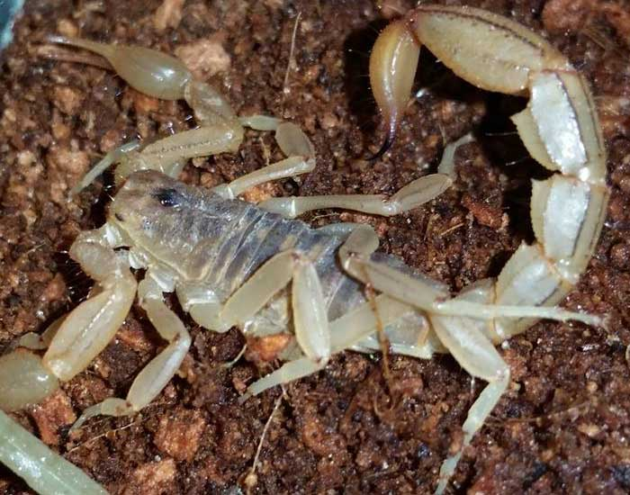 Stripped Tail Scorpion