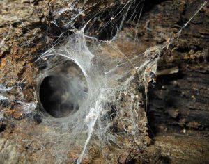 Wolf Spider Nest